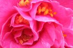 Camelias Toscane fleur
