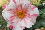 Camelias Toscane fleur 2